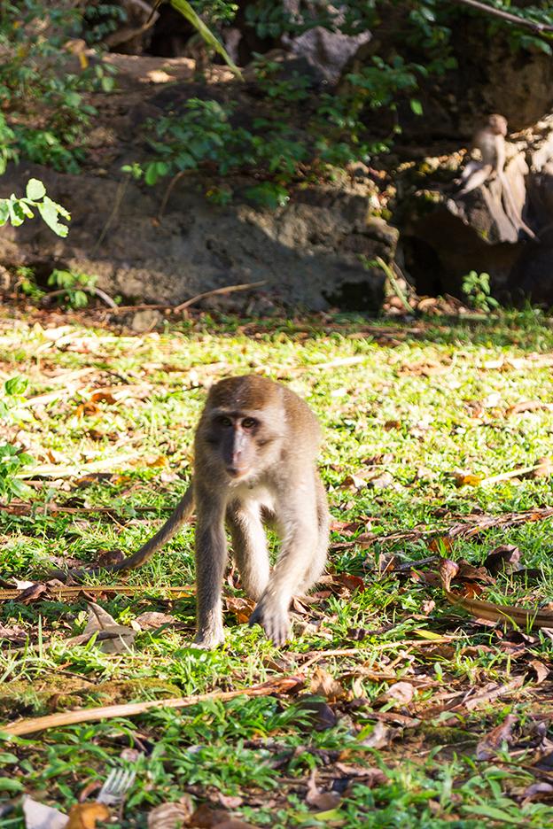 singe-thailande