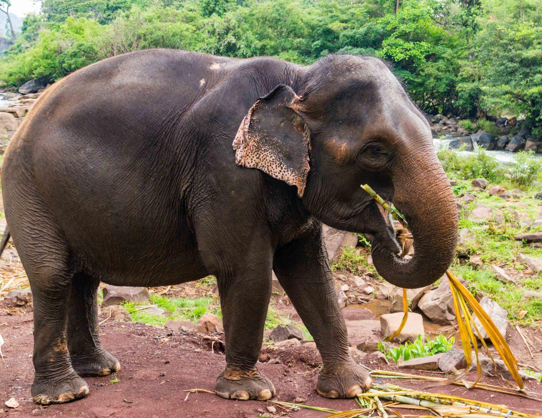 éléphant laos