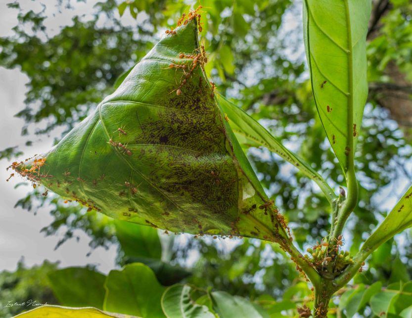 fourmis rouges laos