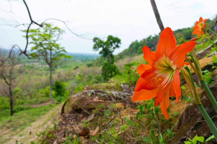 fleur vat phou laos