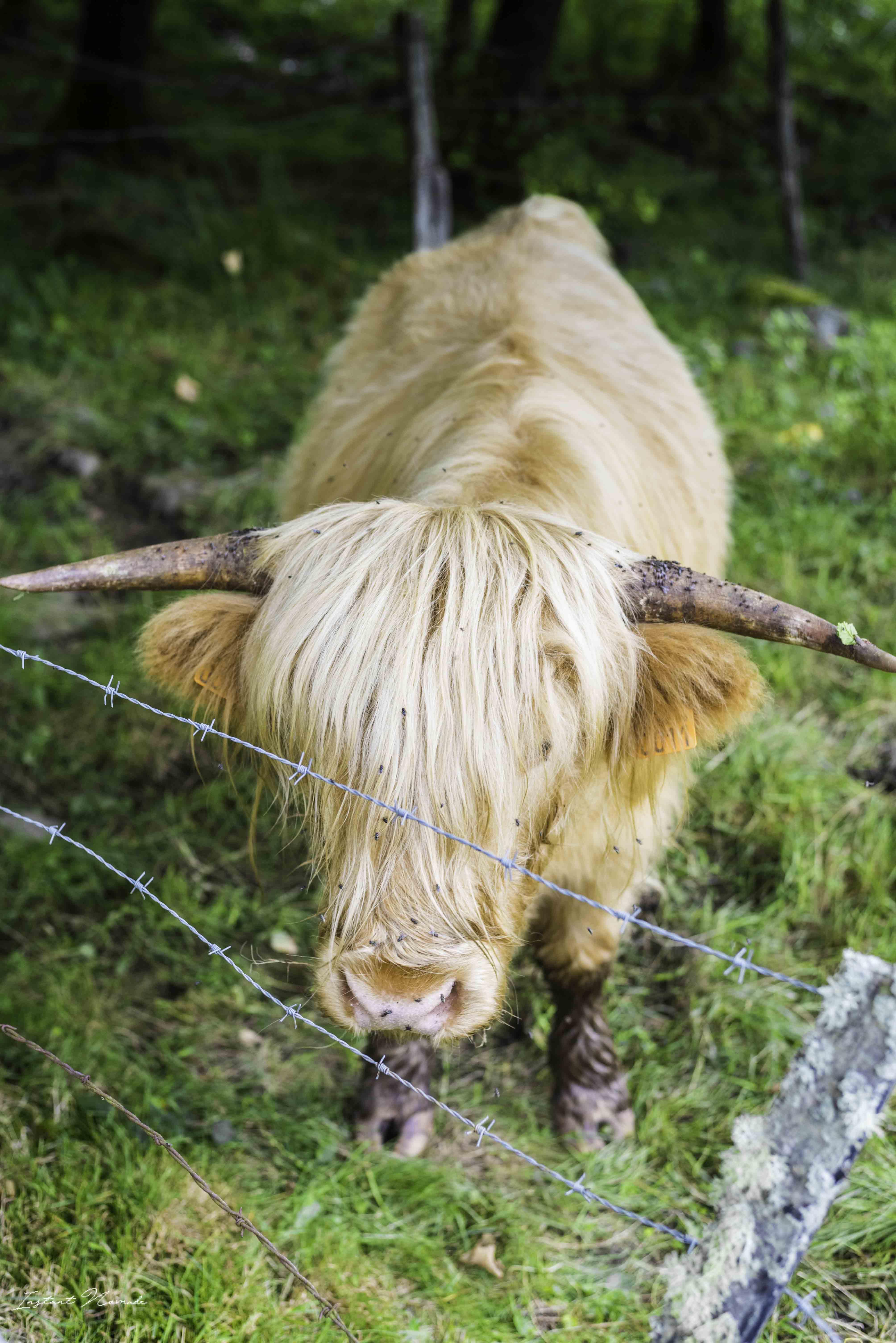 vache saint bresson vosges sud
