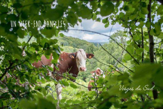 vache vosges du sud