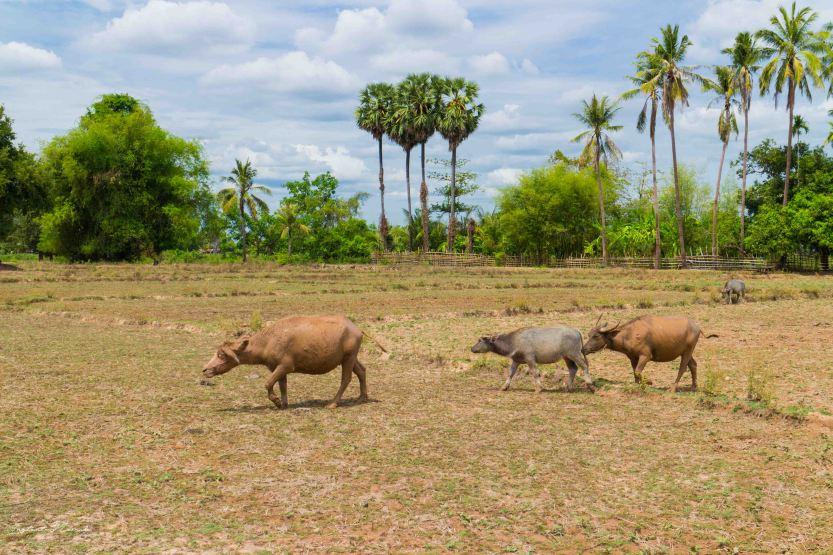 bovins vaches laos don khone 4000 iles