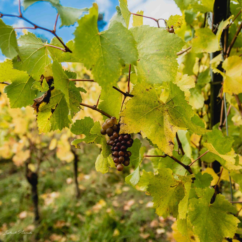 vignes chatenois alsace raisin