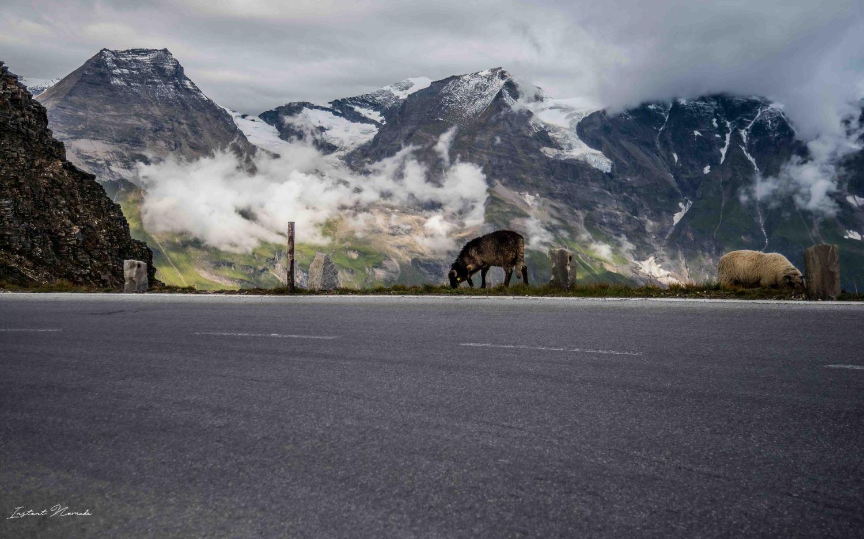 vache route panoramique autriche