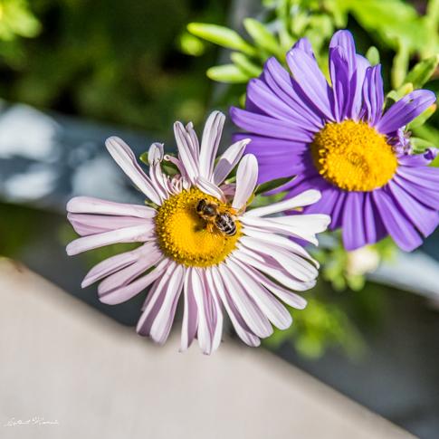 fleurs macro autriche