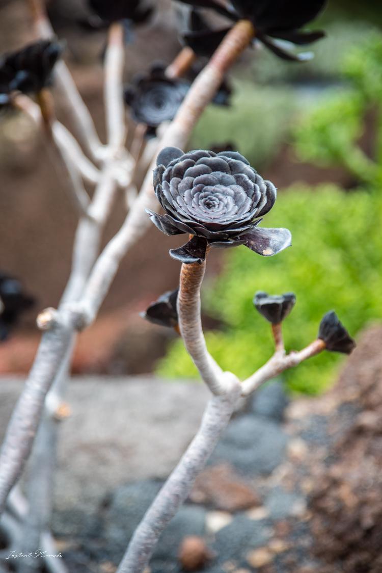 fleur noire cactus lanzarote