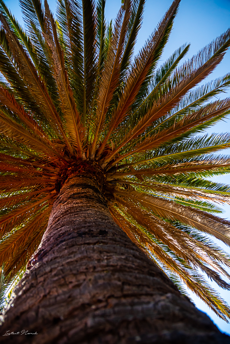 palmier tenerife