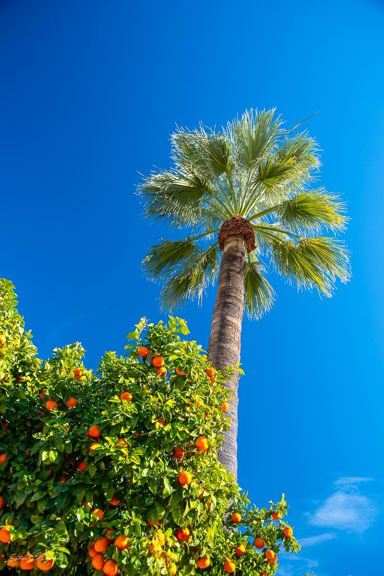 palmier alcazar cordoue