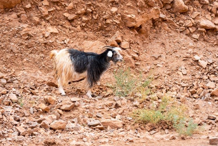 chèvre gorges todra maroc