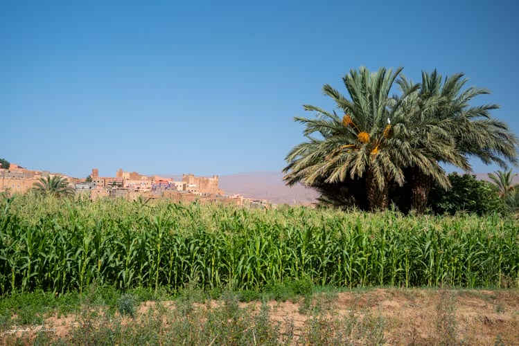 végétation palmeraie tinghir