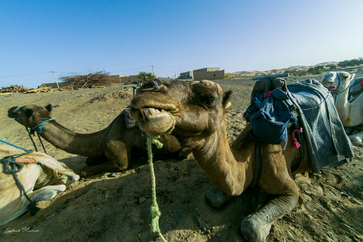 selfie chameau maroc