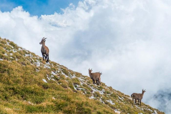troupeau chamois grand veymont