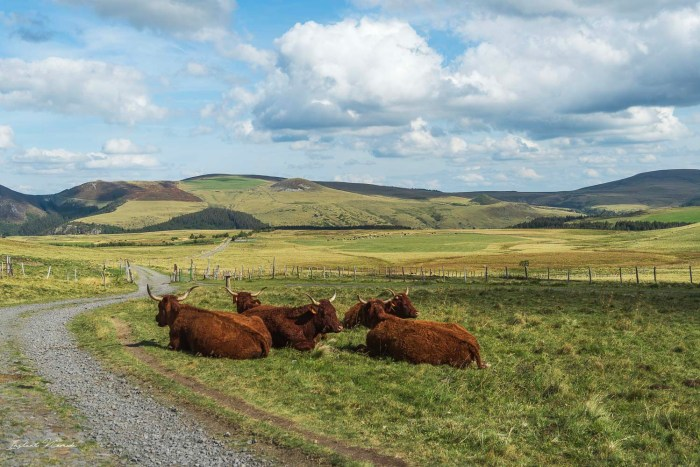 vache typique auvergne