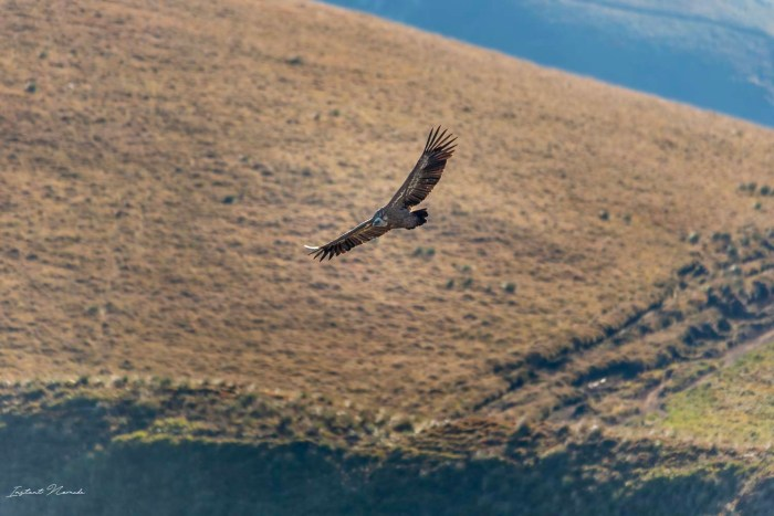 vautour fauve auvergne