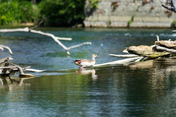 oiseau fleuve meuse